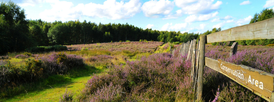 Cannock Chase Heather in Bloom - Staffordshire